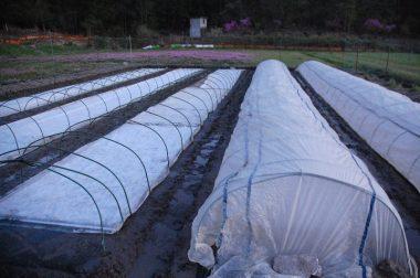 ④左側は苗箱の上に不織布を敷いてある、右はそれをビニールトンネルで覆った様子