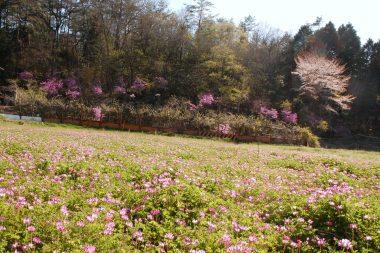 ニンニクの横の休耕畑 ツツジや山桜は里山整備で良く見える様になった