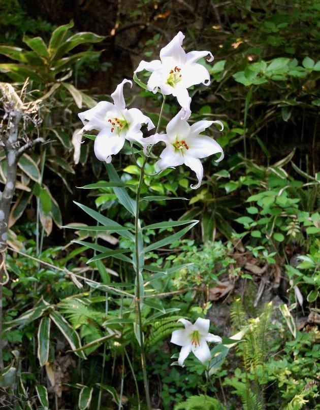 4つ咲いたら香りがかなり広い範囲で楽しめる