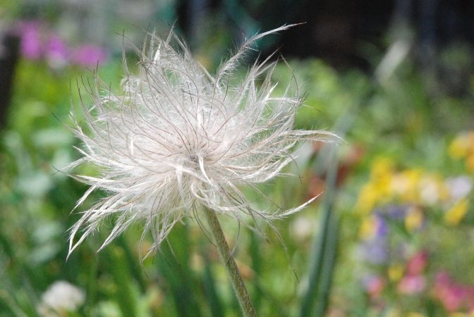 しっかりと【翁】の様になってきた、風が吹いたら綿毛の先に種を付けて飛んで行きます