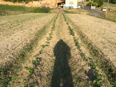 6/14 畝の上は手で草を抜く