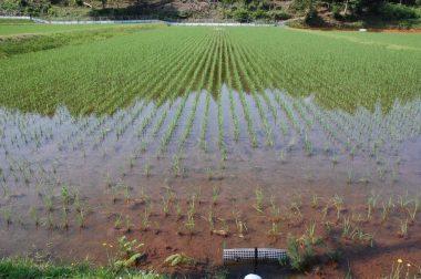 藻が発生していない田んぼの様子