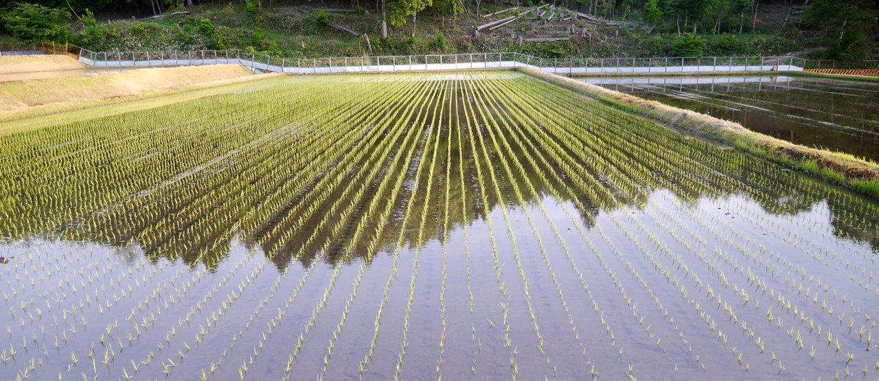 植え終わった田んぼの様子、これからは毎日、水の見回りが日課となる