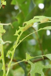 この黄緑色の毛虫に食われた