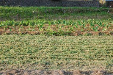 草は小さく砕いて畑一面に