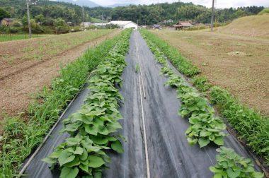 今日の畑の様子、中央にさつま芋2畝 左が黒大豆1列(ほとんど見えない) 右がカボチャ