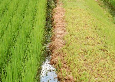 刈った草を 畦際に置きます