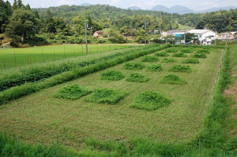 ついでにカボチャの周りの草も処理