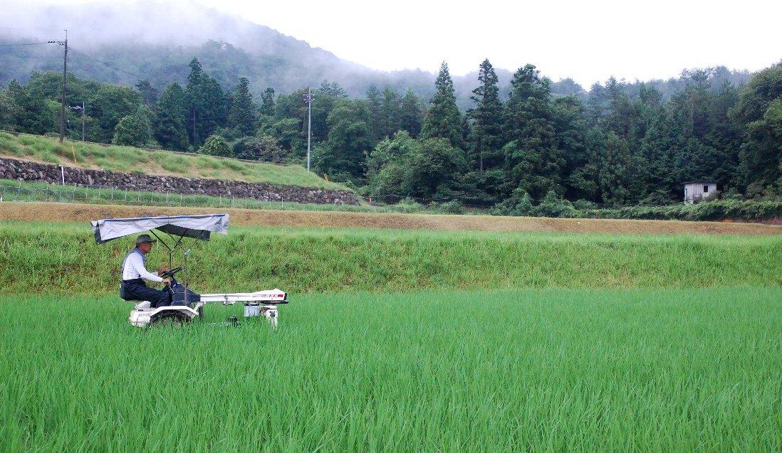 除草機のタイヤが見えなくなるほど稲が伸びた