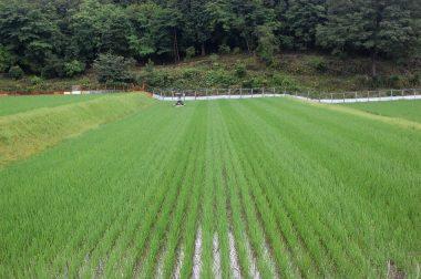 除草機が通り稲の倒れ具合で模様に見える