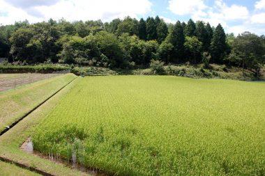 手前の稲の無い所は除草機でUターンして踏み潰した
