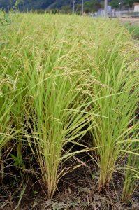 稲は 鉄コーティング種子を直播