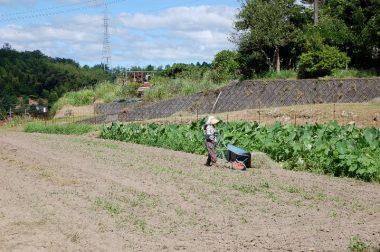 刈り草はこれから里芋の敷草に