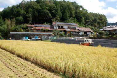 朝露が落ちるのを待って家の前の田んぼから刈り始め