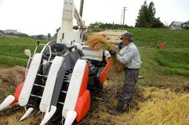 田んぼの入口や角は手で刈ってコンバインに入れます