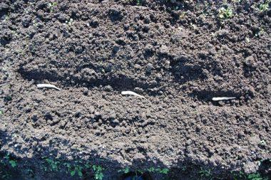 ⑤種の入ったサヤのまま土に埋めます