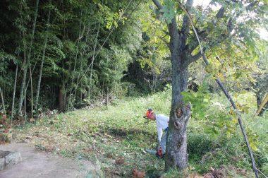 クルミの樹を倒す方向