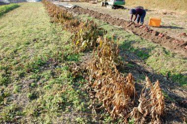 黒大豆もそろそろ収穫時期に