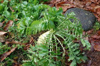 おせち用の大根は畑の通路に自然生えしたもの