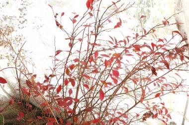 ブルーベリーは秋に紅葉した葉がまだ残っている