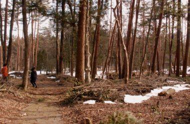 周辺で見かけた赤松の林