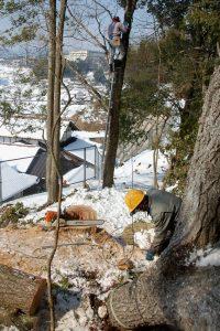 樹に登って引っ張り用のチルホールのワイヤーを掛けます