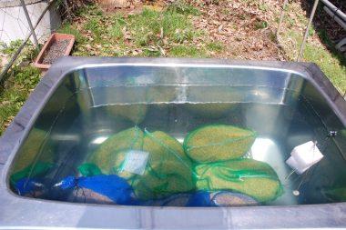 種籾は水風呂の浸かったままです(浸種)