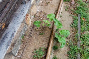 毎年、生えては種を落として勝手に生えるゴボウ