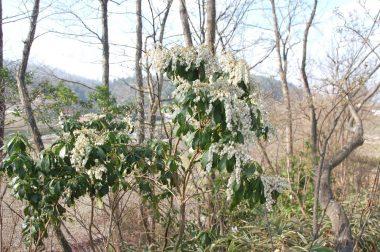 今年は馬酔木が永く咲いて花も多い