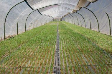 ビニールトンネル内の苗は1.5葉