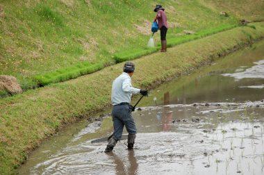 田植機が方向変換して出来たワダチを【柄ぶり】で均す 苗箱には水をかける
