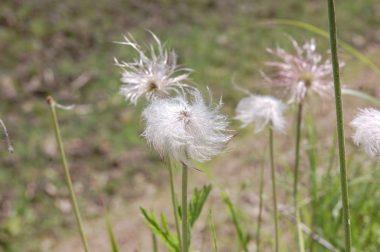 オキナ草が【翁】らしくなったら綿毛で種が風に乗る