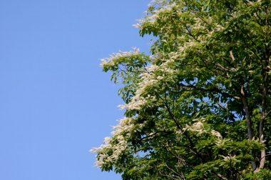 リョウブは樹形や花の香りが好みの樹の一つです