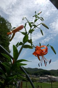 長雨が終わったらユリが2m以上になって咲き始めた