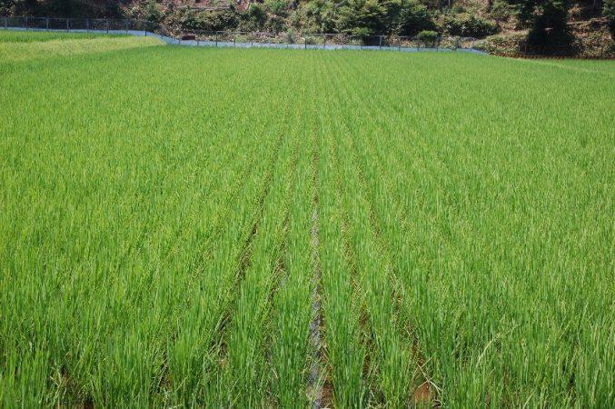 無農薬栽培で除草機を4回通した