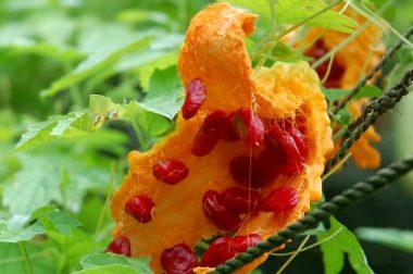 熟したゴーヤ 種を包んでいる赤いゼリー状の所はかなり甘い