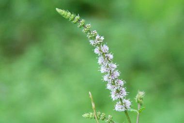 花はかわいらしいけど畑を占領するミント