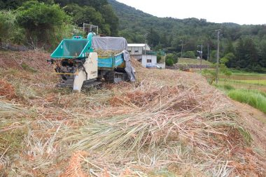 刈取り直後は水分が多くて機械に詰まるので1日乾かした