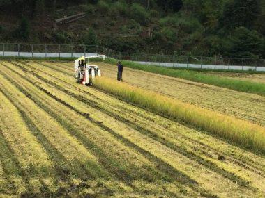 この直線を刈ったら今年の稲刈完了!