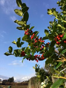 庭のクリスマスホーリー