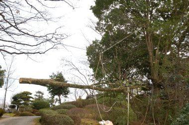 切った枝は庭木を傷めない様にワイヤーロープで吊ったまま引き出す