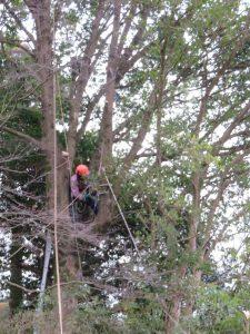 切った枝をワイヤーロープで吊って降ろす