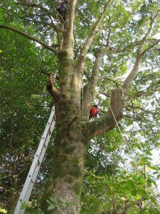 枝を切るたびにワイヤーロープに吊るし用のロープを取り付けに登る