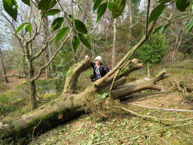 周辺の庭木に被害無く倒せた