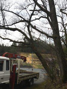 斜めに生えている樹を伐る