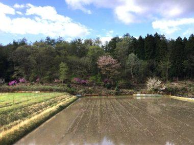 荒代かきが終わった田んぼ、ツツジや山桜が満開