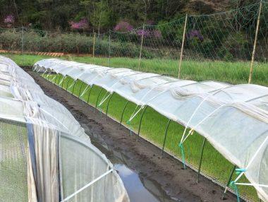 種籾が発芽するまで掛けてあった不織布を外した