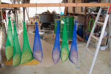 たっぷり水を吸った種籾を24時間保温して芽が出始めた  一旦乾かして種まきに備える
