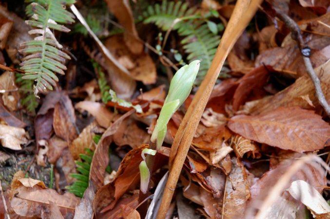 新芽と枯れている昨年の茎