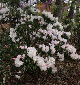 裏山の石楠花は散り始め